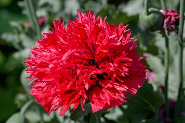 carnation-898747